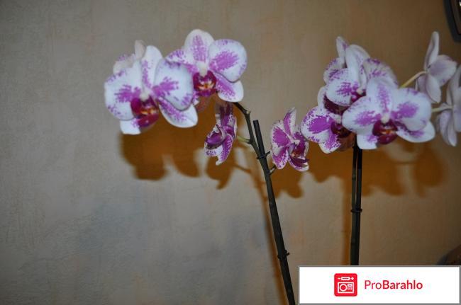 Орхидея Фаленопсис отрицательные отзывы