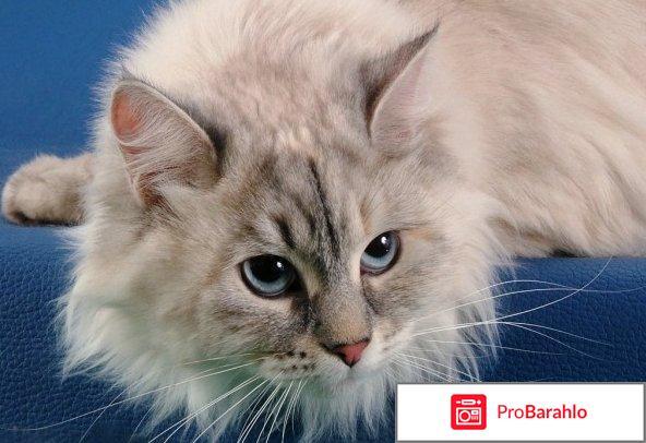 Фото невской маскарадной кошки отрицательные отзывы