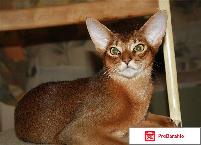 Абиссинская кошка порода отрицательные отзывы
