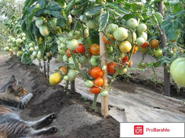 Штамбовые томаты отрицательные отзывы