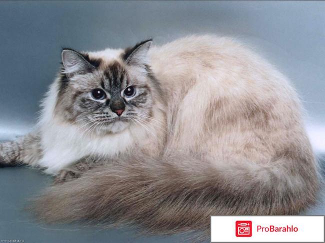 Фото невской маскарадной кошки обман