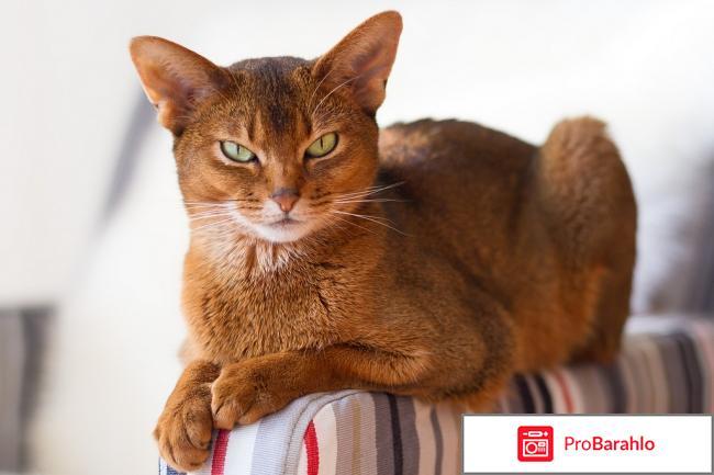 Абиссинская кошка порода обман