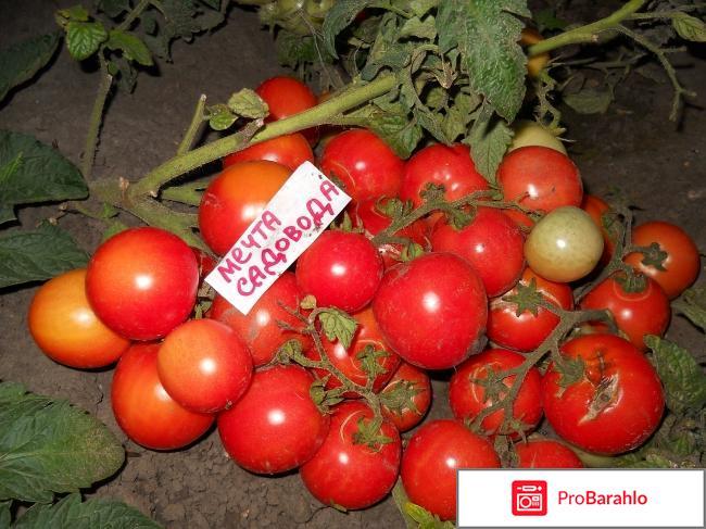 Штамбовые томаты реальные отзывы