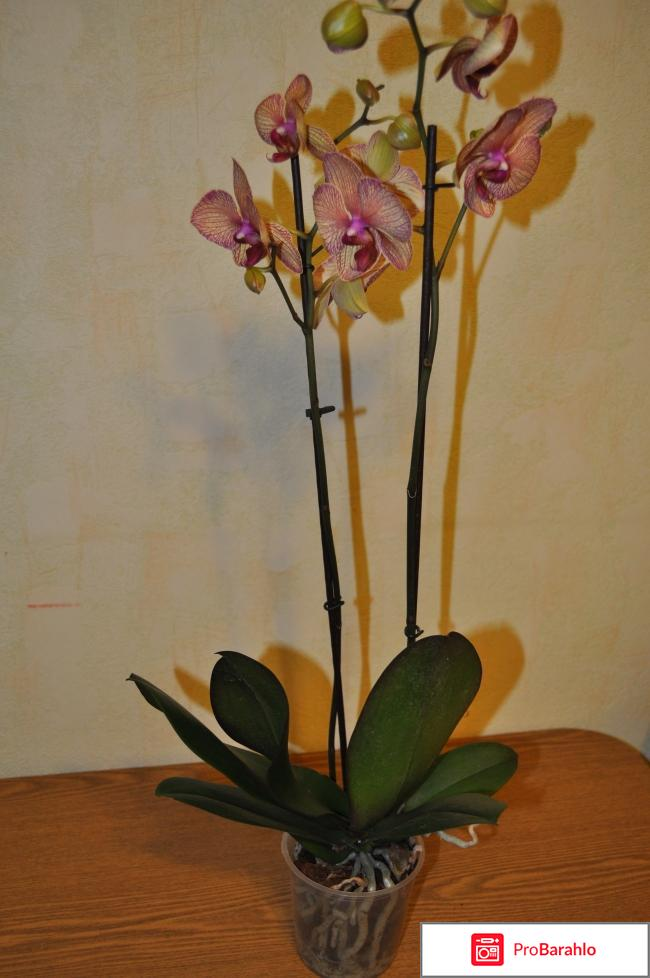 Орхидея Фаленопсис обман